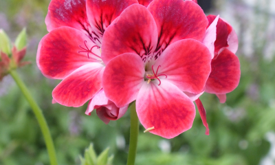 Pelargonium Paton's Unique