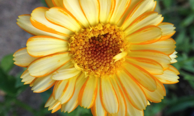 Calendula officinalis_Pacific Beauty