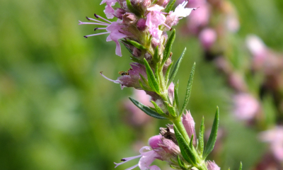 Hyssopus officinais_Rosea