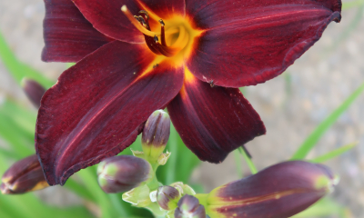 Hemerocallis hybr. Root Beer